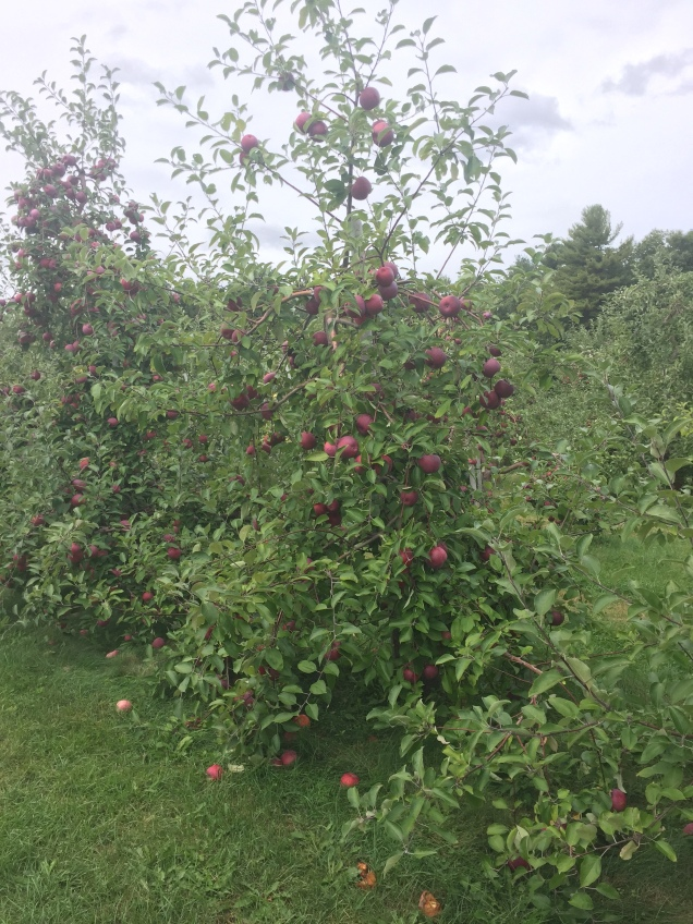 Younger cortland apple tree