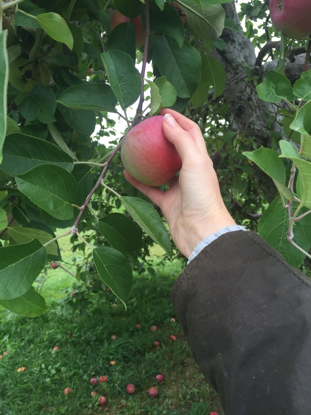 Picking my fave apples, cortlands for life!